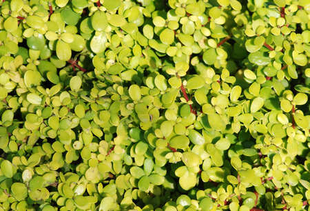 hedging: green leaves texture