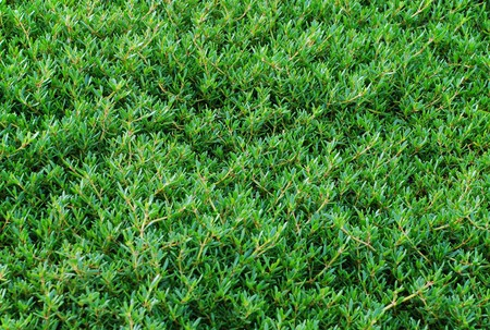hedging: green leaves background Stock Photo