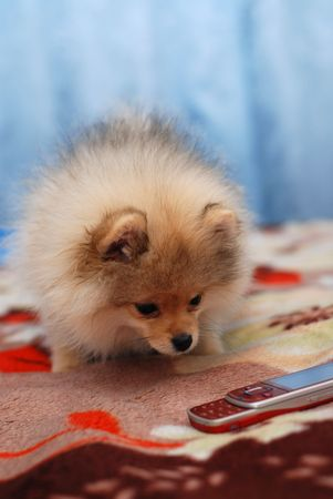 Pomeranian spitz puppy and mobile phone Stock Photo