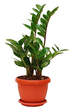 Zamioculcas zamiifolia in bruin pot geïsoleerd op een witte achtergrond
