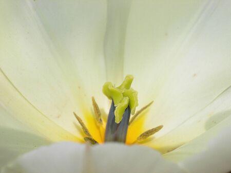 pistil: white tulip with yellow pistil Stock Photo