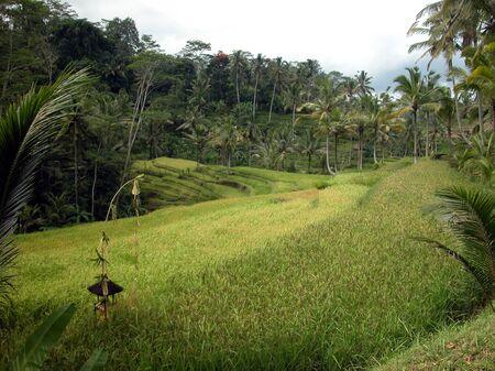 Ubud, Bali  Green paddy fields photo