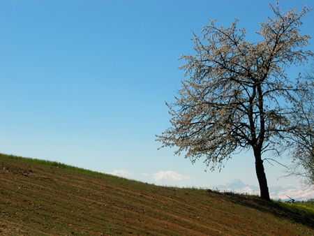 flowered: flowered tree in isolated field