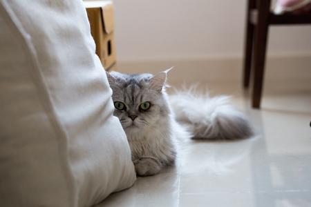 squat: Persian cat squat in portrait Stock Photo