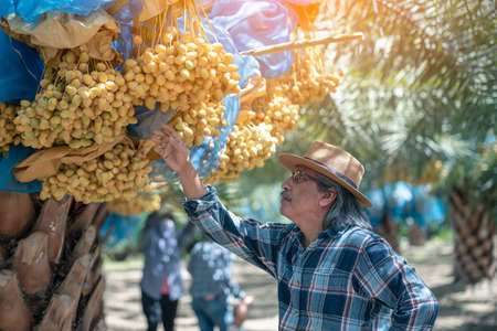 Asian farmer carefully checking a bunch of bright yellow ripe Dates palm fruits in farm, Date palm fruits, agriculturalist. Stock Photo