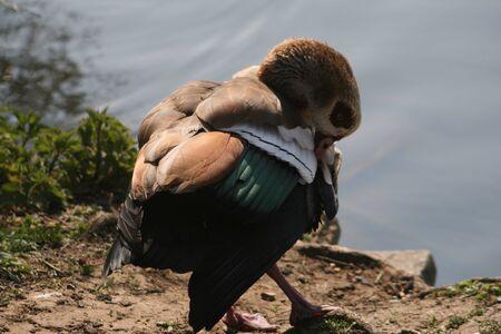 Egyptian Goose photo