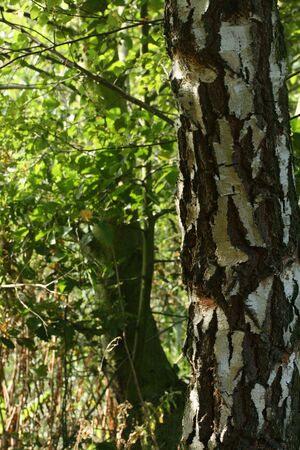 betula pendula: Argento betulla