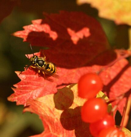 seaonal: Wasp on guelder-rose