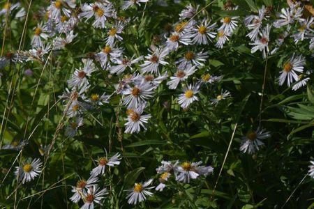 mauve: mauve flower