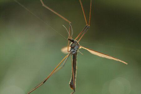 Cranefly caught on web photo