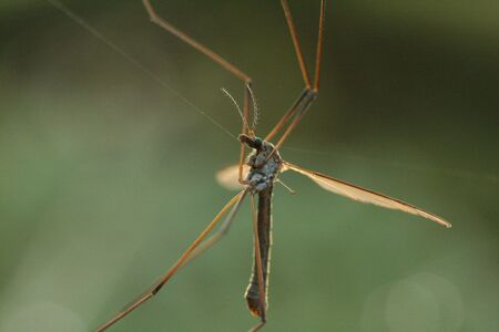 Cranefly caught on web Stock Photo - 3639785
