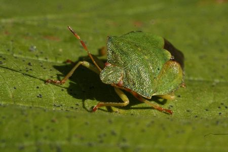 shield bug: Shield bug Stock Photo