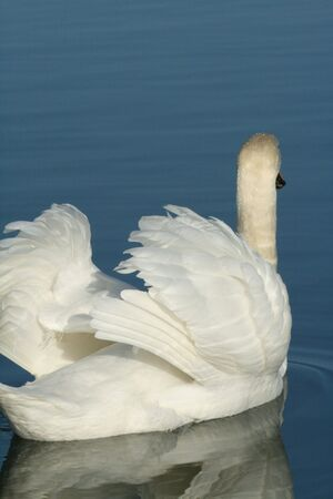 mute swan: Mute swan