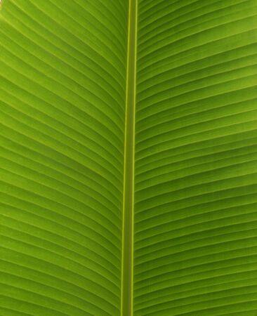 banana leaf: Hoja de banano