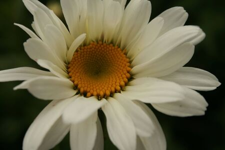 ox eye: Ox eye daisy