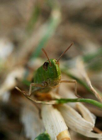 Common Field Grasshopper photo