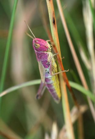 Purple common filed grasshopper photo