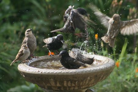 Starlings and sparrow at birdbath photo