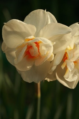 jonquil: Jonquil narcissus Stock Photo