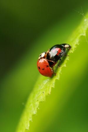 Harlequin ladybirds photo