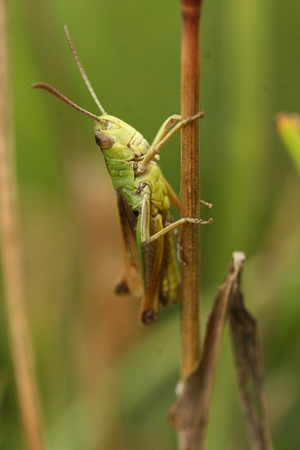 Common field grasshopper Stock Photo - 9518121