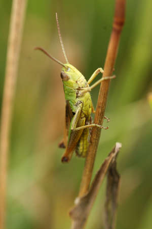 Common field grasshopper Stock Photo - 9518120