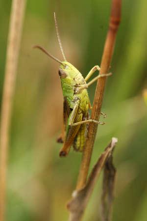 chorthippus: Common field grasshopper Stock Photo