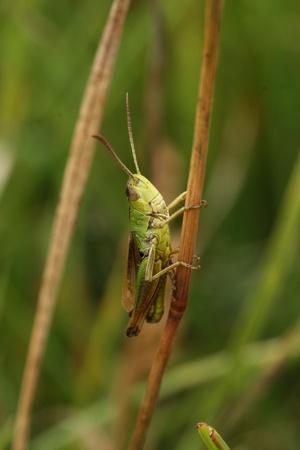 Common field grasshopper Stock Photo - 9518122
