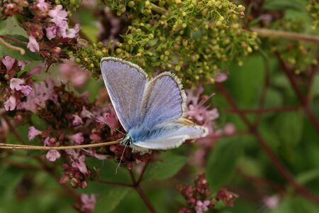 Common blue butterfly Stock Photo - 9518166