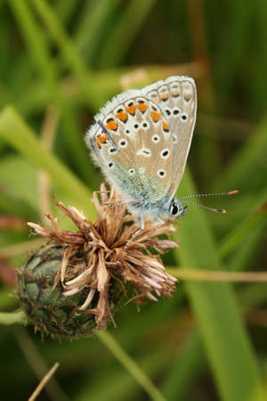 Common blue butterfly photo