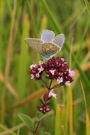 Common blue butterfly Stock Photo - 9518149