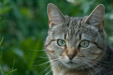 gato atigrado: Tigres gato