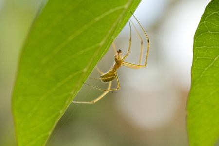 daddy long legs: Daddy-long-legs spider