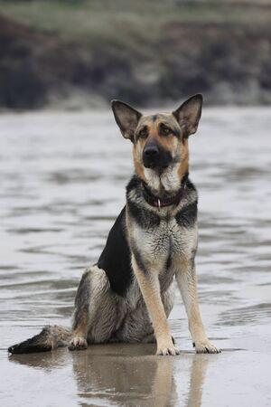 alsation: German shepherd at the beach