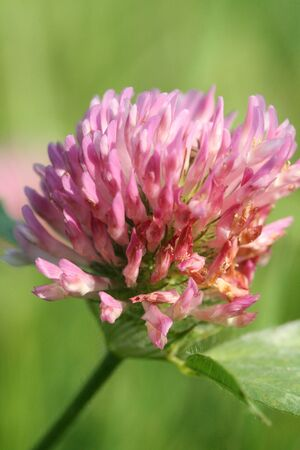 Red clover Stock Photo - 10097905