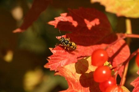 guelder: Wasp on guelder rose
