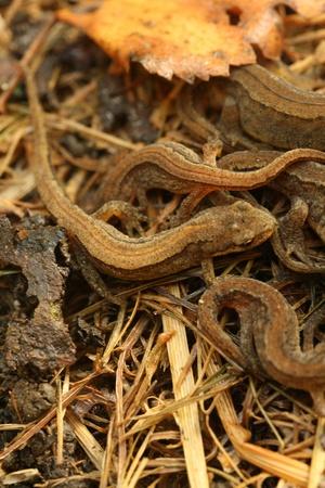 newts: Common newts