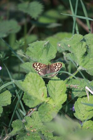 speckled wood: Speckled Wood Butterfly Stock Photo