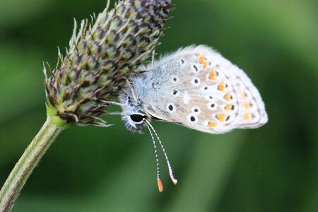 Common blue butterfly on Ribwort Plantain photo