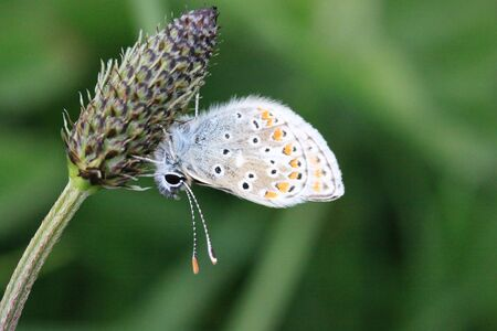 Common blue butterfly on Ribwort Plantain Stock Photo - 10199434