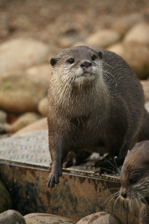 small clawed: Oriental small-clawed otter