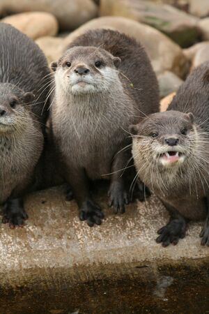 Oriental small-clawed otters Stock Photo - 10311386