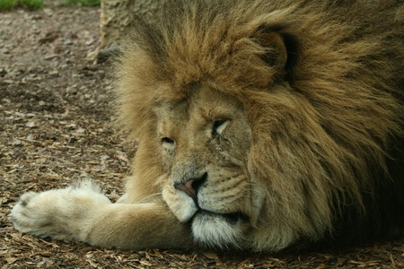 snoozing: Snoozing lion Stock Photo