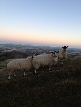 ewes: Sheep overlooking the Vale of the White Horse