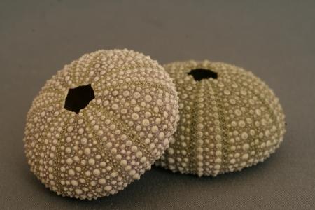 pilluelo: Conchas de erizo de mar