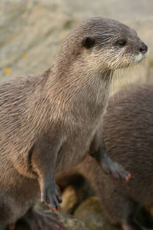 otter: Small-clawed otter