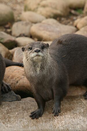 otter: Asian small-clawed otter