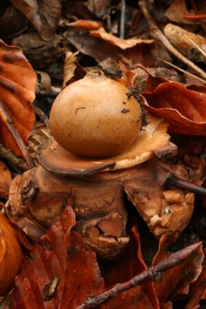 triplex: Collared earthstar Stock Photo