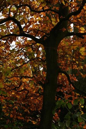 beech tree: Beech tree Stock Photo