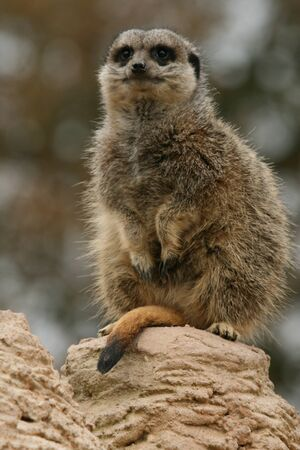 sentry: Meerkat on sentry duty